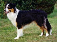 Australian Shepherd for STUD service- 300.00 or one puppy