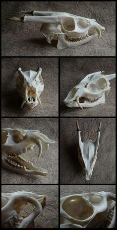 Muntjac Skull #2 by CabinetCuriosities.deviantart.com on @DeviantArt