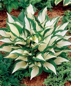Shade Hosta Loyalist early summer to early fall 18-20 in sun/shade to shade fragrant