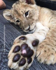 "@blackjaguarwhitetiger Apparel on Instagram: ""B A B Y L E W I S I love this photo of the most handsome #BabyLewisBJWT at the @blackjaguarwhitetiger foundation! Look at that paw!  @lewishamilton #NotPets #nosonmascotas #ItsAllForLove #SaveLions #blackjaguarwhitetiger"""