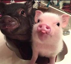 Images Of Cute Animals To Color into Cute Baby Animals Funny & Cute Animals Baby Video at Cute Christmas Animals Photos though Cute Images In Animals Baby Animals Pictures, Cute Animal Photos, Funny Animal Pictures, Humorous Pictures, Funny Photos, Cute Pics, Animals Images, Cute Baby Pigs, Cute Piglets