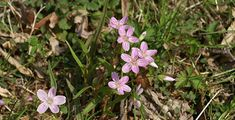 Spring beauties are small low-growing wildflowers that are found in a star-like cluster of five white to light pink flowers.
