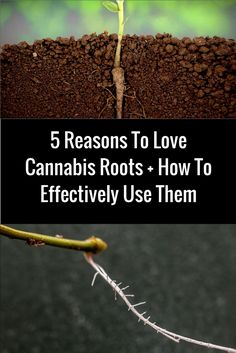 5 Reasons To Love Cannabis Roots And How To Effectively Use Them