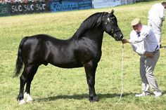 Photo Archive Brynithon Royal Knight Royal Welsh Show Stallion 2008 : Rainhill Welsh Cobs