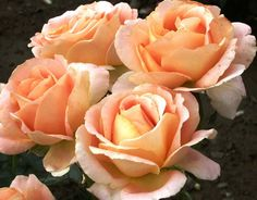 """ Alpine Sunset "" - Hybrid tea rose - Strong fragrance - Cants of Colchester (UK), 1974 Orange Roses, Purple Roses, Rooting Roses, Alpine Flowers, Vertical Garden Design, Garden Sofa, Hybrid Tea Roses, Love Rose, Dream Garden"