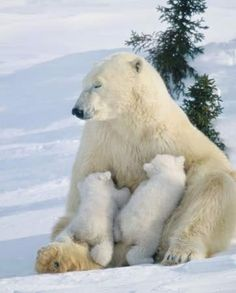 Mama bear and her babies. Lovely.