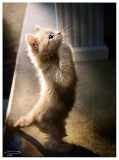 non-cat lover... but this is cute ; ) kitten is praying or begging or witnessing something wonderful ; )