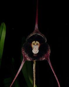 dracula orchids species plants and flowers | Dracula_pholeodytes.jpg