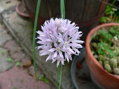 fiore erba cipollina damgas in cucina (1)