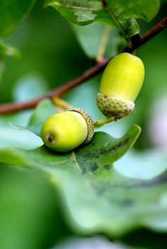 green- Edith R. Acorns To Oaks, Acorn And Oak, Bloom Baby, Fantasy Forest, Oak Leaves, Seed Pods, Fruit And Veg, Shades Of Green, My Favorite Color