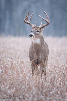 Buck in field by Mike Lentz Photography**