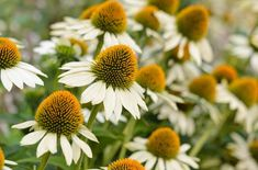 Echinacea purpurea 'White Swan' (Coneflower) tall x wide full sun summer flowering Summer Flowers, Cut Flowers, White Flowers, Garden Seeds, Garden Plants, Back Gardens, Outdoor Gardens, Full Sun Perennials, White Swan