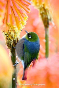New Zealand's White-eye. Nature Story, Nz Art, White Eyes, Animal Posters, Forest Friends, Birds Eye View, Colorful Birds, Kiwi Bird, Wild Birds