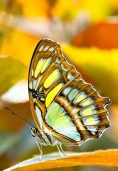 "/ Photo ""Malachite Butterfly"" by Peter Wey nature Types Of Butterflies, Flying Flowers, Butterflies Flying, Butterfly Kisses, Butterfly Flowers, Butterfly Family, Madame Butterfly, Beautiful Bugs, Beautiful Butterflies"