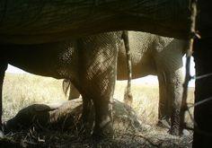 I just classified this image on Snapshot Serengeti! Elephants!