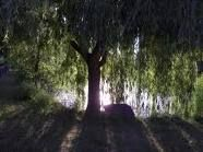 underneath a willow tree