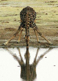 Drinking Giraffe, Hwange National Park, Zimbabwe