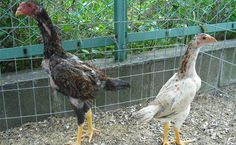Agen Sabung Ayam Online - Clik Images for more information Chibi, Dan, Bird, Animals, Image, Birds, Animales, Animaux, Animal