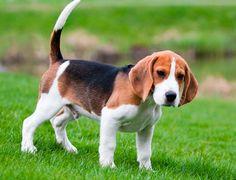 Ejercicio del Beagle   Mundo Perro