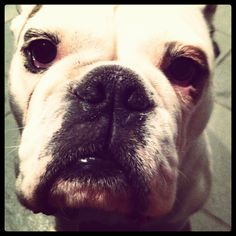favorite bulldog