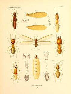 Isoptera Fam. Termitidæ