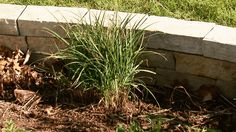 Ornamental grasses leave little room for complaints in the maintenance department. These few simple steps will keep them looking their best year after year.