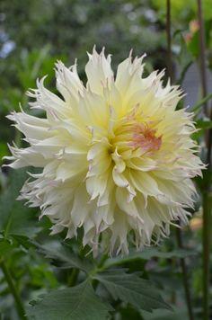 Dahlia 'Citron de Cap' Beautiful Flowers Garden, All Flowers, Amazing Flowers, Pretty Flowers, White Flowers, Wedding Flowers, Summer Plants, Herbaceous Perennials, Dahlia Flower