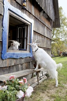 Goat meeting ✿⊱╮... goat