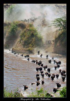 Mara Crossing, Kenya ~ Wildebeest migration photo collection by Alex Goldenshtein