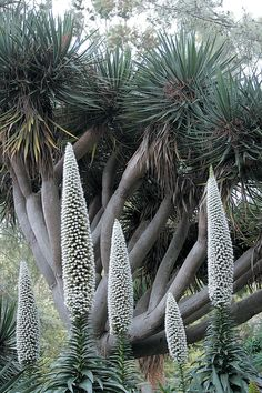 Echium simplex (Tower of jewels) a herbaceous biennial plant. Native to the island of Tenerife mainly in Macizo de Anaga (Canary Islands). Frost intolerant & requires sustained periods of sunlight to thrive. The plant produces a dense rosette in the 1st year & then flowers to a height of 1–3 metres in 2nd year. Blooms Feb-April in Tenerife. Widely available as a garden flower in warm temperate areas. It is very attractive to bees and produces a distinctively flavoured honey.