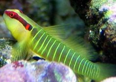 Saltwater Fish Goby, Saltwater Fish Blenny, Saltwater Fish Jaw Fish - love the blennys.  They like to tunnel under the coral and build forts.  Mine used to spit rocks at those who got to close.- Annilee