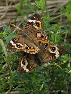 Photographs from Nature - Butterfly Gallery  Common Buckeyes mating, Junonia coenia, Killbuck Creek, Ohio    All rights reserved - © Jay Cossey