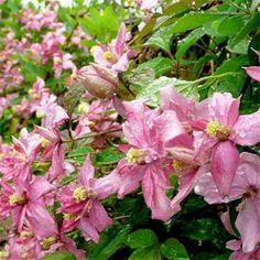 The same flowers as Garden Cafe, Garden Pots, Bulb Flowers, Flower Pots, Climbing Clematis, Clematis Montana, Chelsea Flower Show, Trees To Plant, Garden Furniture