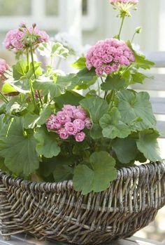 Gernanien in einem Korb gepflanzt - eine tolle Idee, auch für Ihren Balkon!