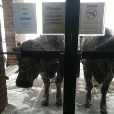 Alliance, Nebraska...after it snowed,  the calves made it into town...... 4/9/2013