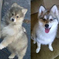 """Jacomo before we got him and now! What a change!! @puppiesofinstagram  #jacomothepomsky  #pomskiesofinstagram #pomsky #tbt #throwbarkthursday…"""