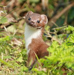 Weasel / Comadreja (mustela nivalis)