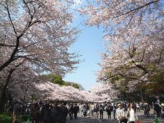 Cherry blossoms in Ueno Park, Tokyo.. Another familiar cherry blossoms to me... but you know, Cherry blossoms are everywhere in Japan.. You can see cherry blossoms anywhere.. .