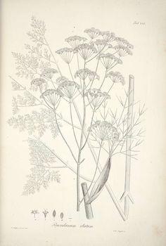 foeniculum vulgare, копър