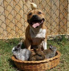 """Boom, a three-year-old Staffordshire Bull Terrier, who loves birds and rabbits. He has already acquired a legion of fans on his Facebook page, and who can blame them? He might actually be the cutest pup weve ever laid eyes on (and his little buddies seem to agree). Check out these pics and see if you dont fall in love!"""