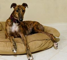 Ruby2  red brindle has a furever home. Her new family are 'greyt foster failures' <3