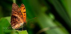 Leopard butterfly by philippe6