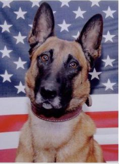 Bart -  Combat Assault Dog Bart died  August 6th 2011 together with his handler John Douagdare.