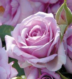 Rose Enchanted Evening