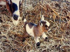 Beautiful baby goat.