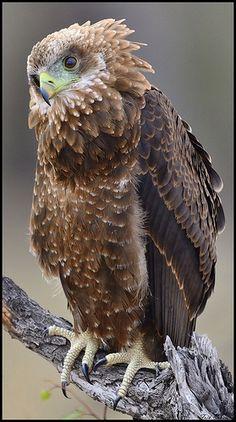 Golden Eagle by Jong Berghaan
