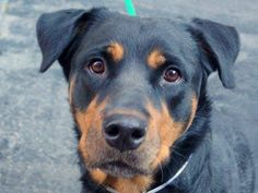 TO BE DESTROYED - 11/22/14 Manhattan Center -P  My name is BROOKLYN. My Animal ID # is A1021008. I am a female black and red rottweiler. The shelter thinks I am about 4 YEARS old.  I came in the shelter as a OWNER SUR on 11/18/2014 from NY 11211, owner surrender reason stated was CHILDCONFL.