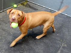 **GONE~~RIP Maya** My name is MAYA. My Animal ID # is A1036718. I am a spayed female brown pit bull mix. I am 1 YEAR. I came in the shelter as a OWNER SUR. ☆★ TO ADOPT THIS ANIMAL THROUGH THE PUBLIC ADOPTION SITE, PLEASE GO TO THE FOLLOWING LINK AND SCROLL DOWN TO BOTTOM TO LOG IN AND RESERVE THE ANIMAL. THERE WILL BE A $202 DEPOSIT REQUIRED. $150 WILL BE REFUNDED ONCE PROOF OF SPAY/NEUTER IS SUPPLIED. http://www.nycacc.org/PublicAtRisk.htm ☆★