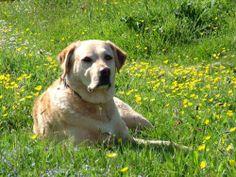 Labrador Retriever. Rasa wywodzi się z Nowej Funlandii, początkowo psy pomagały rybakom wyciągać sieci. Dziś jest to rasa wszechstronna, łatwa do wyszkolenia, wykorzystywana w ratownictwie, myślistwie, policji, występują także jako przewodnicy niewidomych i psy rodzinne. Są to duże psy, o krótkiej i gęstej sierści, jednobarwnym umaszczeniu w kolorze czekoladowym, czarnym bądź żółtym (biszkoptowym). Są to psy silne, mają doskonały węch, bardzo aktywne i towarzyskie, potrzebują dużo ruchu.