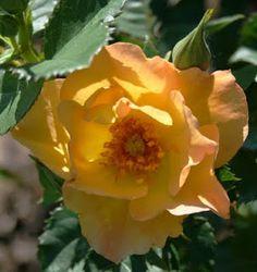 Morden Sunrise Rose Bush